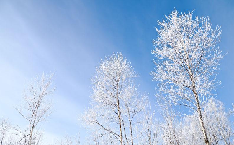雪をかぶった木々と青空の写真