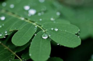 葉と滴の写真