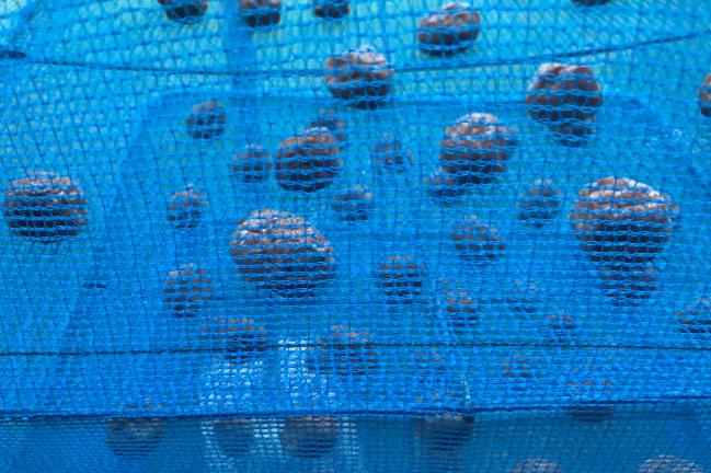 三段干し網で梅干しの天日干し