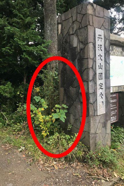 塔ノ岳大倉尾根ルート登山道入り口の丹沢クリステルがいない