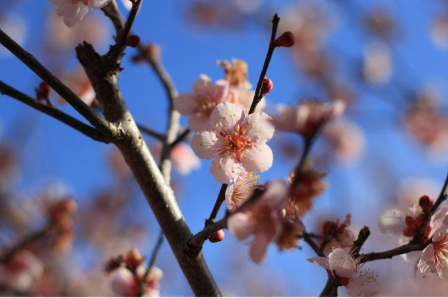 宝登山の冬桜かもしれない花