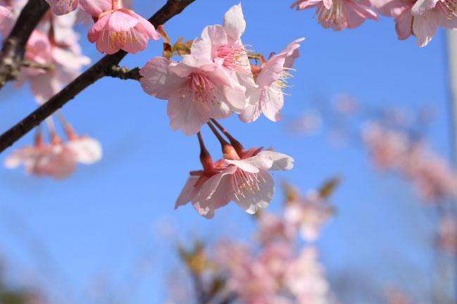 EOS60Dの作例-桜の写真